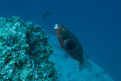 BD-150425-Maldives-8540-Scarus-rubroviolaceus.-Bleeker.-1847-[Ember-parrotfish].jpg